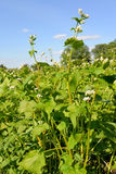 Blossoming buckwheat sowing against the blue sky Royalty Free Stock Image