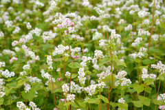 The blossoming buckwheat sowing Fagopyrum esculentum Moench, a  background Royalty Free Stock Photography