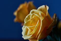 Yellow rose. Bud, petals, bouquet. A blossoming bud of a beautiful yellow rose on a blurred background. Russia, Moscow, holiday, gift, mood, nature, flower Stock Photography