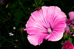 A blossoming bud with bright pink petals and a nucleus with white seeds. Macro flower.  stock image