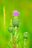 The blossoming bud of a plumeless thistles Stock Images