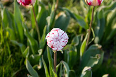 Blossoming bud of white volumetric tulip in red stripes close up Royalty Free Stock Image