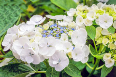 Blossoming and budding Hydrangea macrophylla plant from close Stock Images