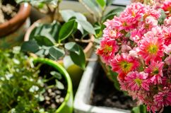 Blossoming flowers of pink Kalanchoe on the background of pots royalty free stock photo