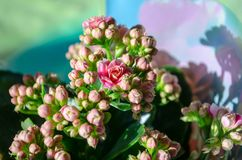 Blossoming flowers of pink Kalanchoe with fleshy leaves. Blossoming buds of pink Kalanchoe with fleshy leaves stock images