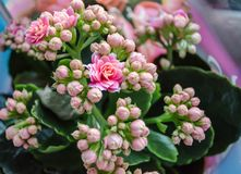 Blossoming flowers of pink Kalanchoe with fleshy leaves. Blossoming buds of pink Kalanchoe with fleshy leaves stock image