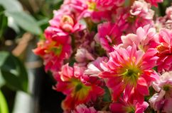 Blossoming flowers of pink Kalanchoe with fleshy leaves. Blossoming buds of pink Kalanchoe with fleshy leaves royalty free stock image