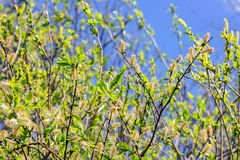Blossoming buds of trees against the blue sky. Blossoming buds on the branches of a willow with green leaves against the blue sky stock photos