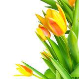 Blossoming bunch spring yellow Tulips flower colorful is isolate royalty free stock photo