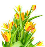 Blossoming bunch spring yellow Tulips flower colorful is isolate Royalty Free Stock Photos