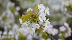 Blossoming bunch of white cherry tree flowers. Blown by breeze in spring. Cerasus avium stock video