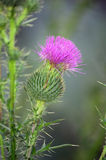 Blossoming burdock Stock Image