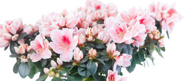 Blossoming bush of an azalea Stock Images