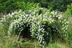 Blossoming bush. Of a dogrose royalty free stock image