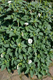 The blossoming bush of a dope Indian (harmless) (Datura inoxia M. Ill stock photography