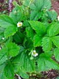 Blossoming bush of garden strawberry, on the garden bed royalty free stock photo