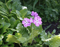 Blossoming bush of pink primroses Stock Photography