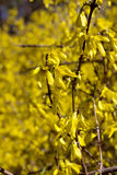 Blossoming bush. Spring yellow florets on a blossoming bush Stock Images