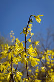 Blossoming bush. Spring yellow florets on a blossoming bush Royalty Free Stock Photo
