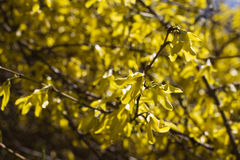 Blossoming bush. Spring yellow florets on a blossoming bush Royalty Free Stock Photography