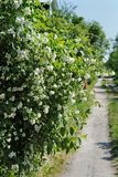 Blossoming bush of syringa near country path Stock Photo