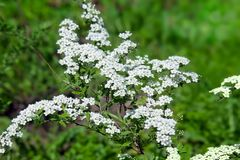 Blossoming bush of white Spiraea  in a garden. Stock Photography