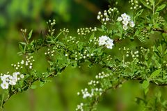 Blossoming bush of white Spiraea  in a garden. Royalty Free Stock Photo