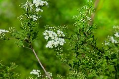 Blossoming bush of white Spiraea  in a garden. Stock Image
