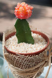 Blossoming Cactus Royalty Free Stock Photo