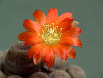 Blossoming cactus Aylostera heliosa. Stock Photography