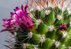 Blossoming cactus Stock Image