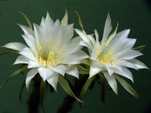 Blossoming cactus of family Echinopsis. Royalty Free Stock Photography
