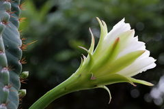 Blossoming Cactus Flower. Side View of a Blossoming White Cactus Flower Stock Image