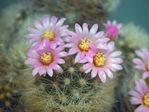 Blossoming cactus Mammillaria  dasiaconta. Royalty Free Stock Photo