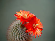 Blossoming cactus Parodia sanguiniflora. Stock Photos