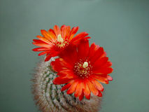 Blossoming cactus Parodia sanguiniflora. Royalty Free Stock Photography