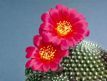 Blossoming cactus Rebutia kariusiana. A plant from a private collection Royalty Free Stock Photography