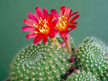 Blossoming cactus Rebutia mansoneri. Stock Photo