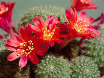 Blossoming cactus Rebutia mansoneri. stock photos