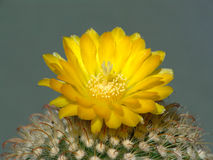 Blossoming cactus of sort Parodia. A plant from a private collection Royalty Free Stock Photography