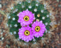 Blossoming cactus Royalty Free Stock Image