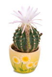 Blossoming cactus with white flower stock photo