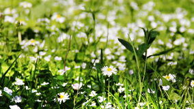 Blossoming camomiles stock video