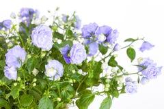 Blossoming Campanula Stock Image