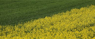 Rapeseed and wheat plants in  field, yellow and green Royalty Free Stock Image