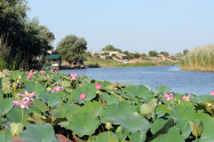 Blossoming Caspian lotus field near the village in Volga delta Royalty Free Stock Photography