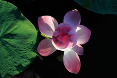 Blossoming Caspian lotus in Volga delta Royalty Free Stock Image