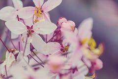 Blossoming cassia. Cassia fistula tree blossom in spring season in the Hawaii, USA stock photos