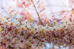 Blossoming cassia. Cassia fistula tree blossom in spring season in the Hawaii, USA. Beautiful natural spring background royalty free stock photos