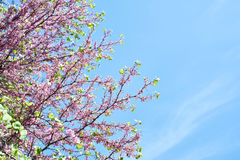 Blossoming Cercis siliquastrum or Judas tree on blue sky Royalty Free Stock Photo